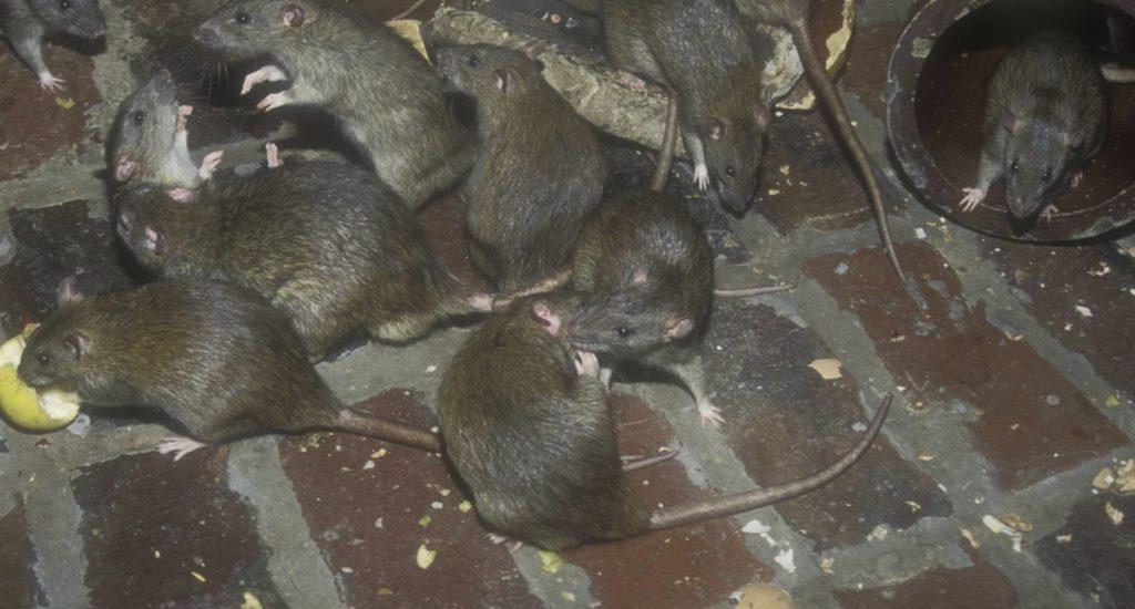 уничтожение крыс в Новом Уренгое